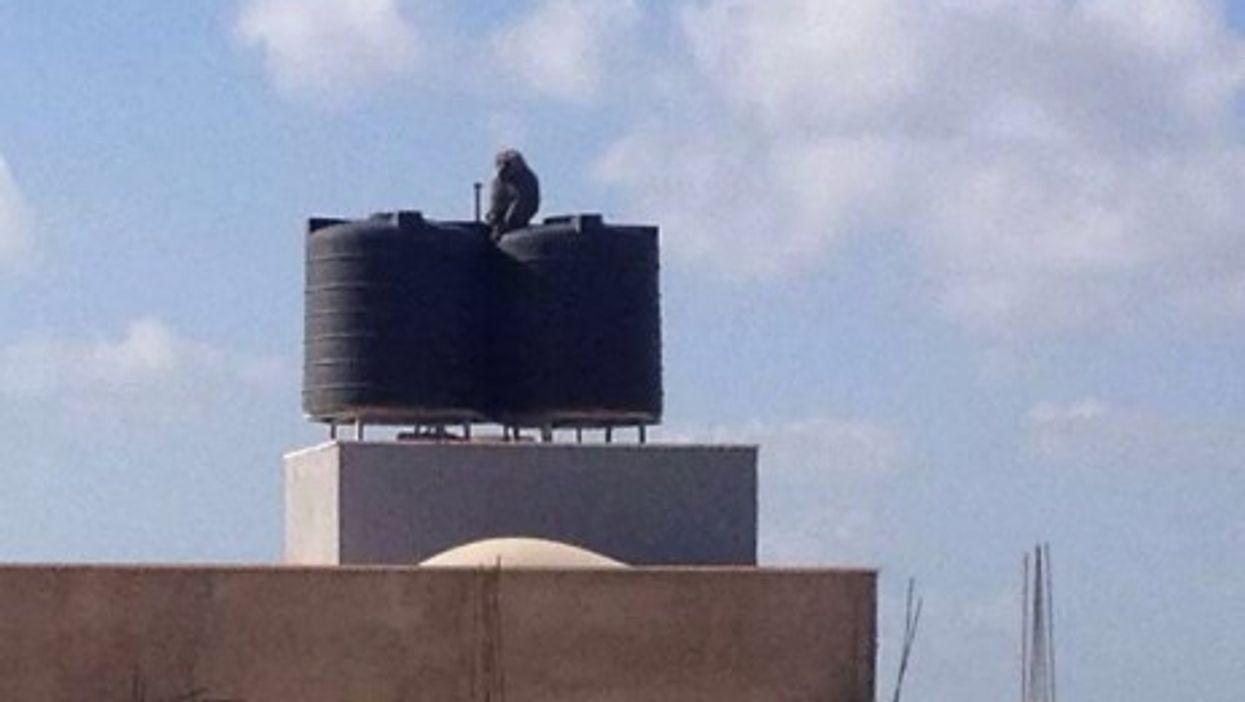 In Benghazi, A Baboon Breakout Amidst Human Warfare