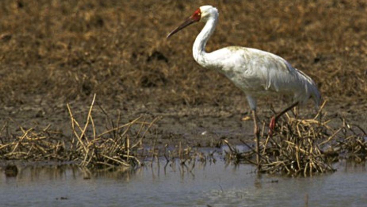 Iran's Last Siberian Crane Flies Alone