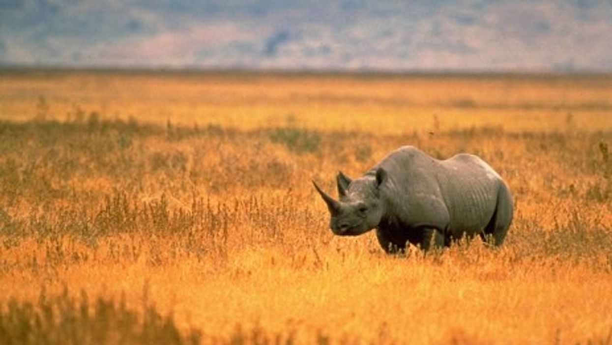 South Africa May Legalize Rhino Horn Trade