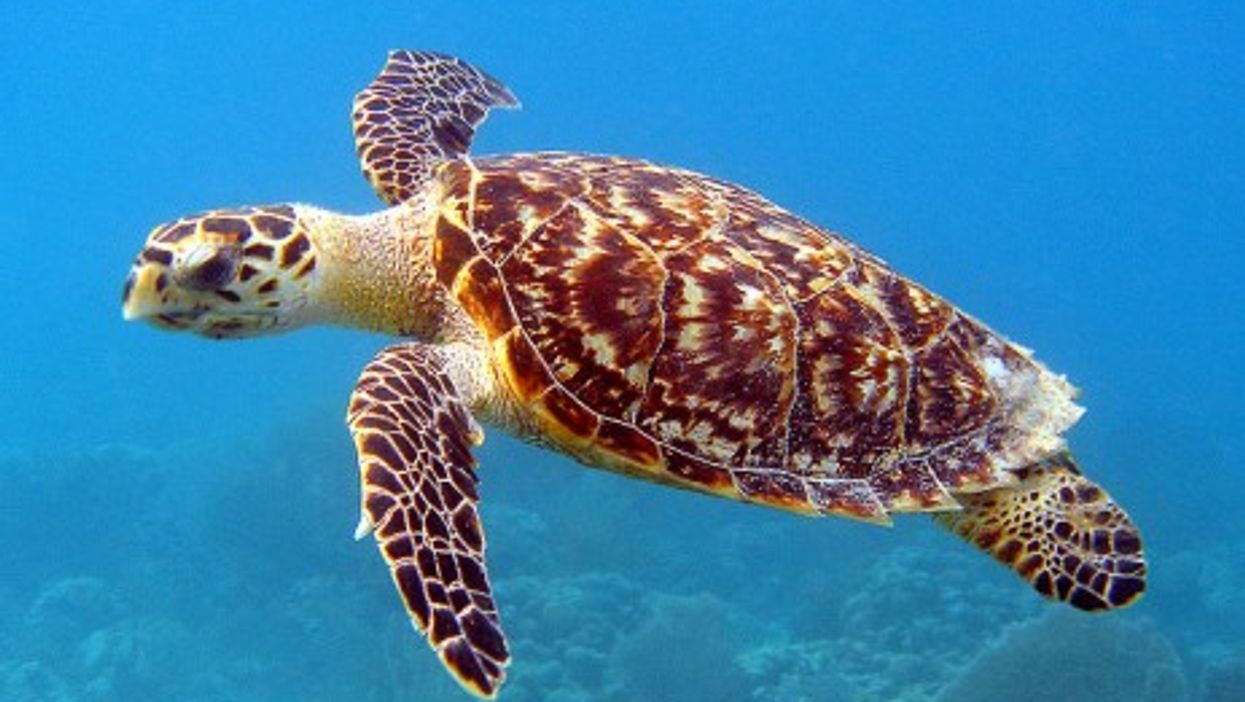 Hawksbill Turtles Thought Extinct Now Back On Colombia's Beaches