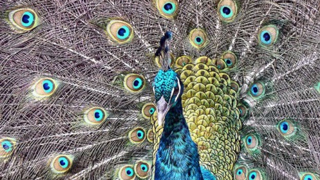 Proud And Loud, Rogue Peacock Tortures Marseille Couple