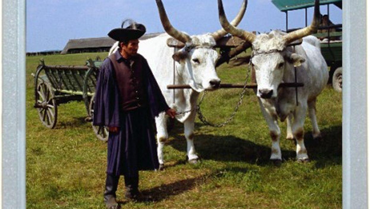 Cattle Pride