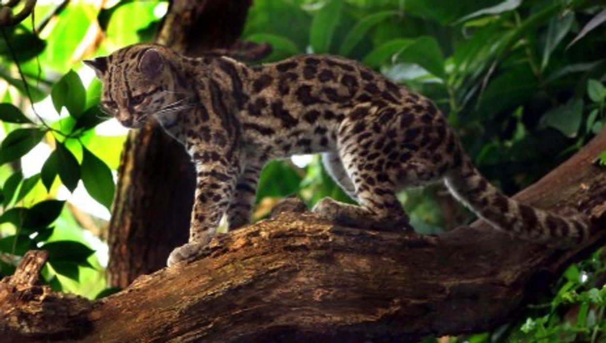Endangered Species Of Wild Cat Found Outside Bogota