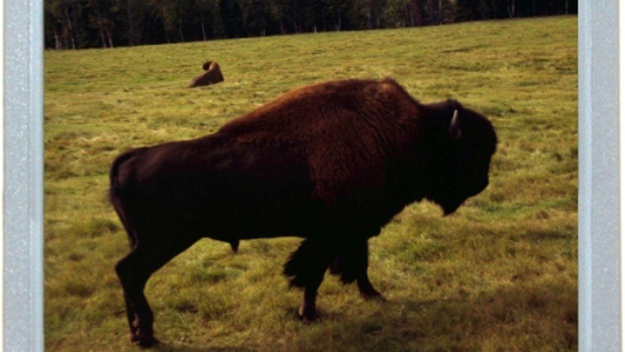 Quebec's Bison