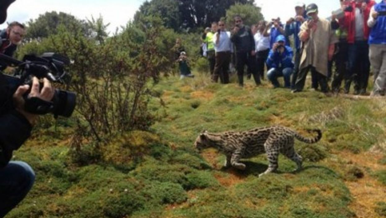 Rehabilitated Ocelots Freed In Colombia