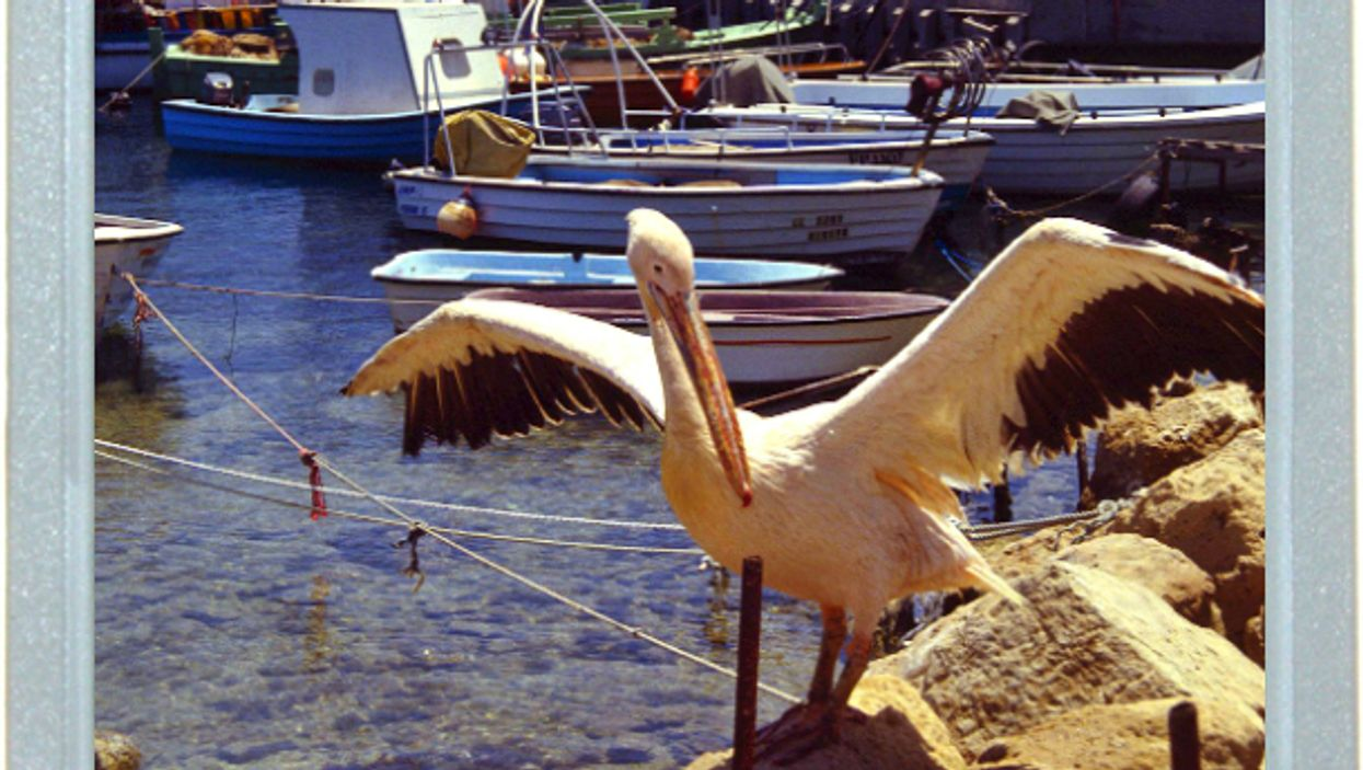 A Pelican's Pause