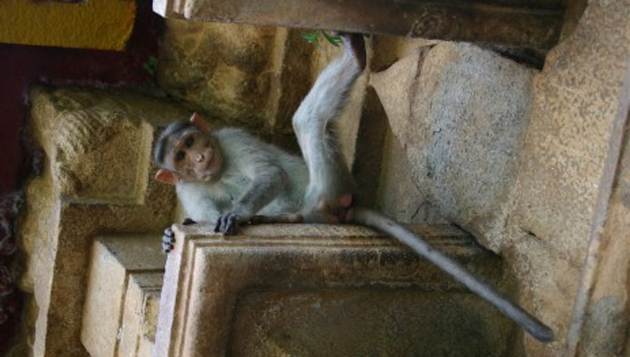 While Monkeys Roam Free In India, Humans Live In Cages