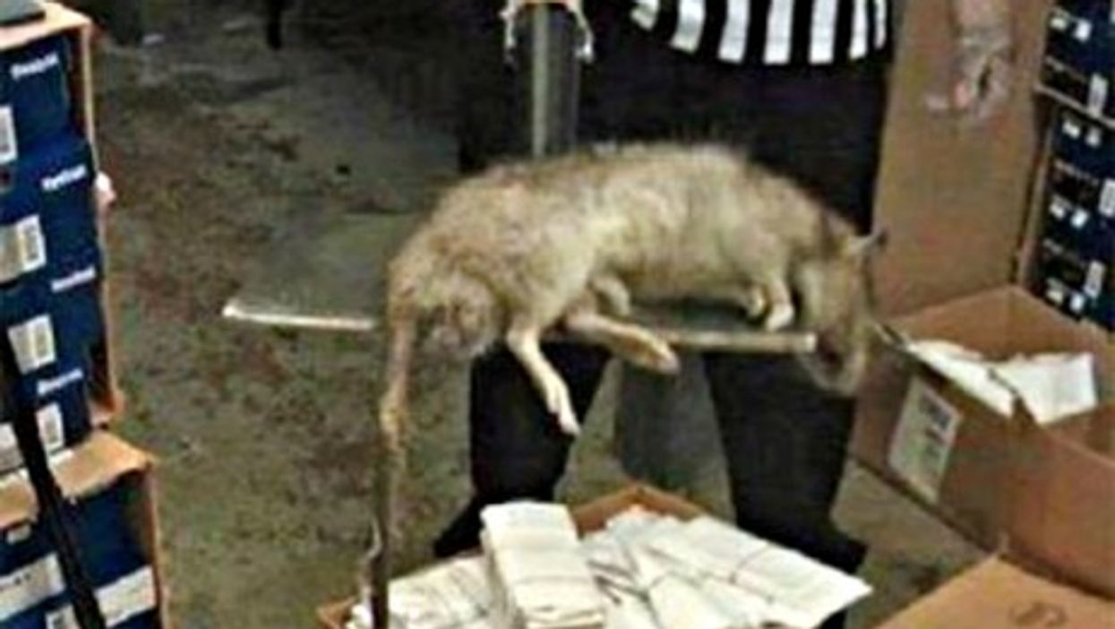 Tehran Terror: When 'Big One' Strikes, Watch Out For Giant Rats!