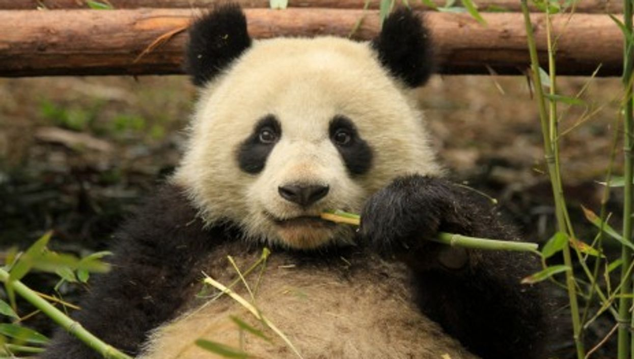 Benefits Cheat: Panda Fakes Pregnancy For More Food