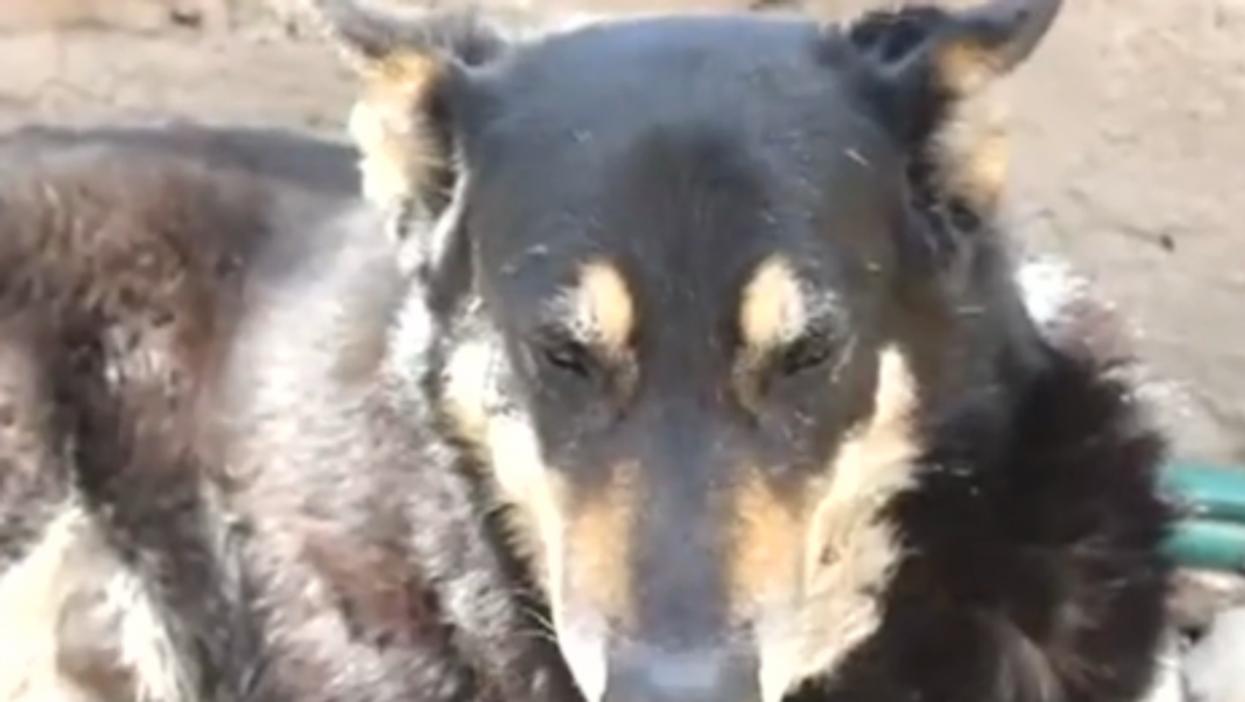 Argentina's Most Faithful Dog Still By Owner's Grave