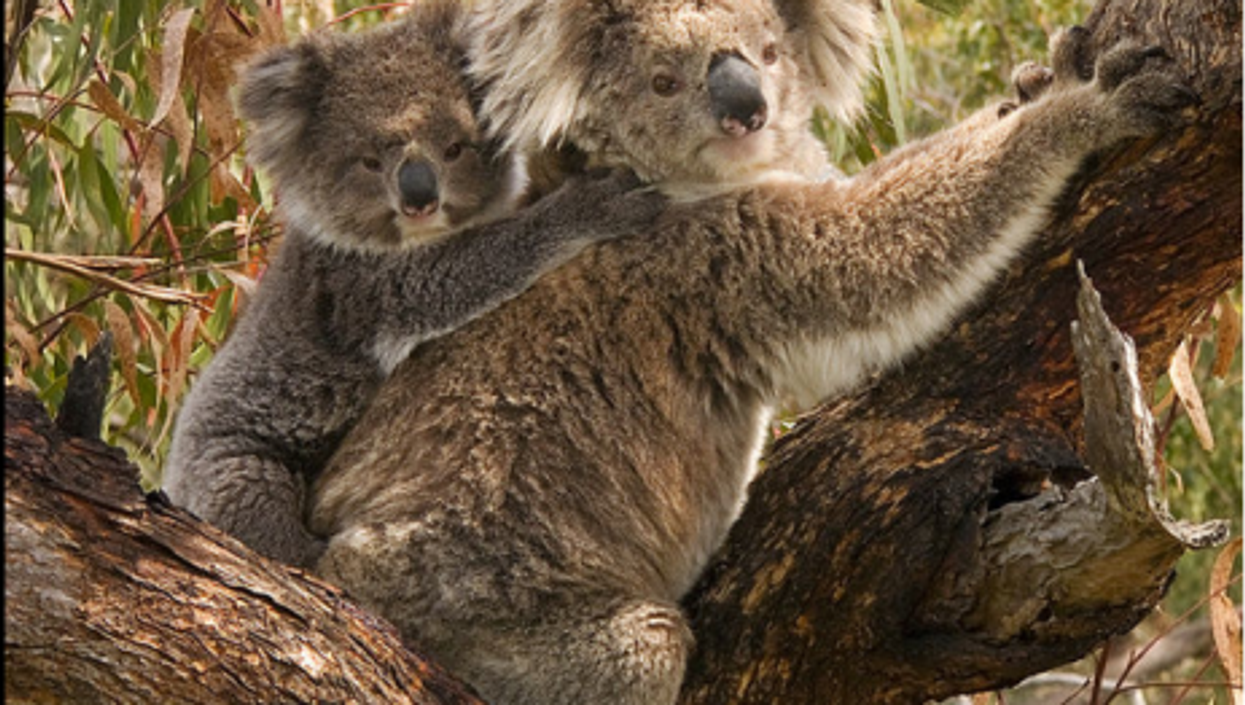 Keep Cool Summer Tips For Koalas And Other Animals