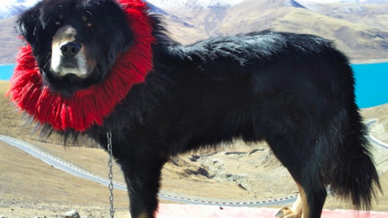 Court Battle After Tibetan Mastiff Dog Dies During Facelift Surgery