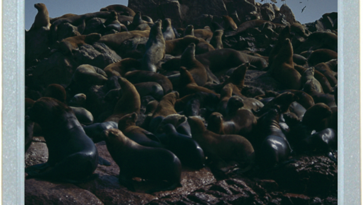 Raft Of The Seals