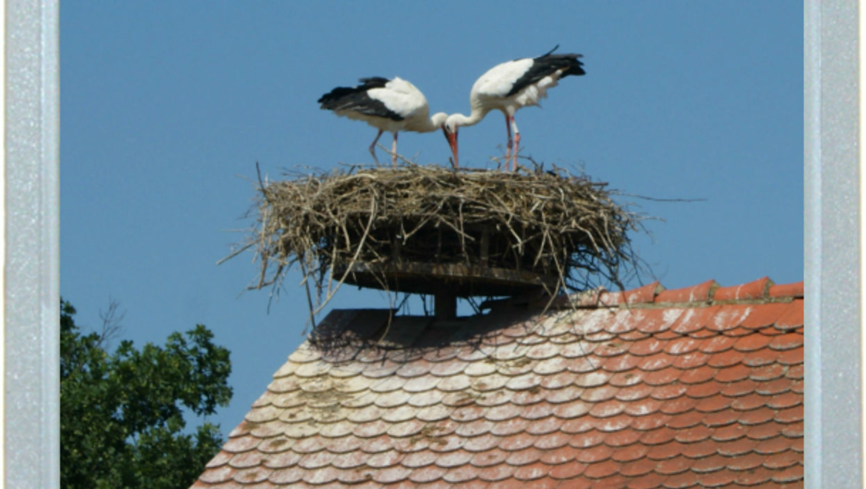 The Siamese Storks