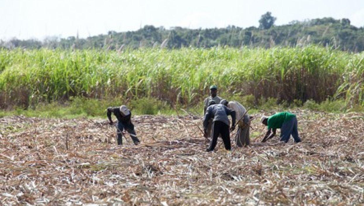 In the sugar cane fields