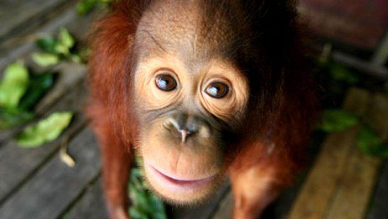 Infant Malaysian orangutan