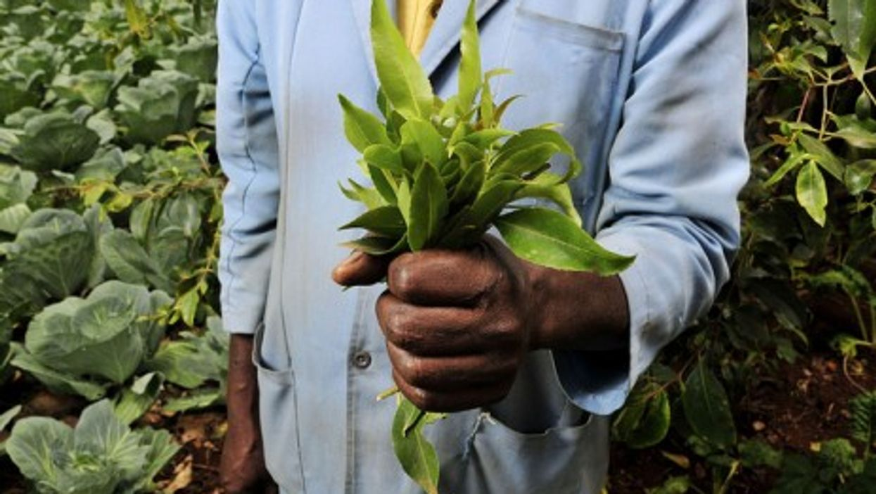 Khat leaves (CIAT International Center for Tropical Agriculture)
