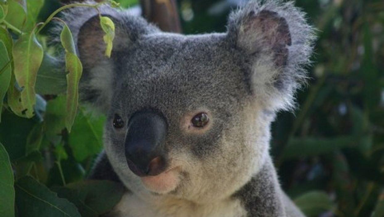Koala bears could eventually enjoy
