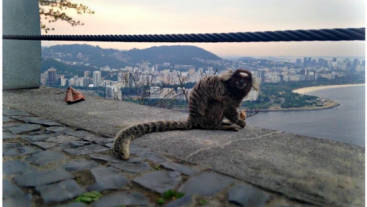 Monkey in Rio de Janeiro, Brazil