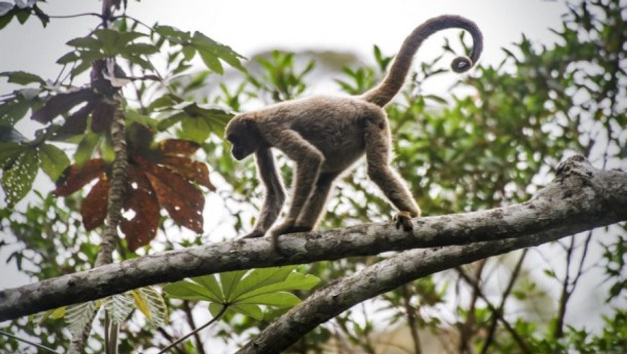 Northern muriqui, critically endangered of extinction