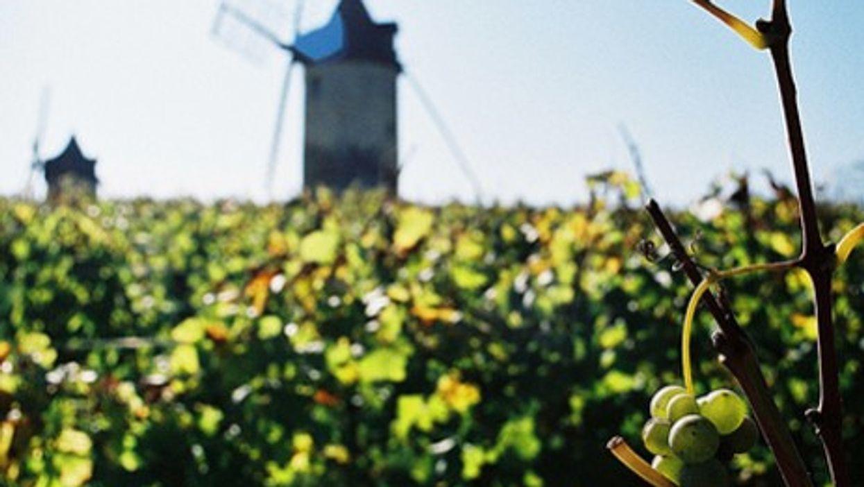 On the vine at Chateau Calon Segur (filtran)