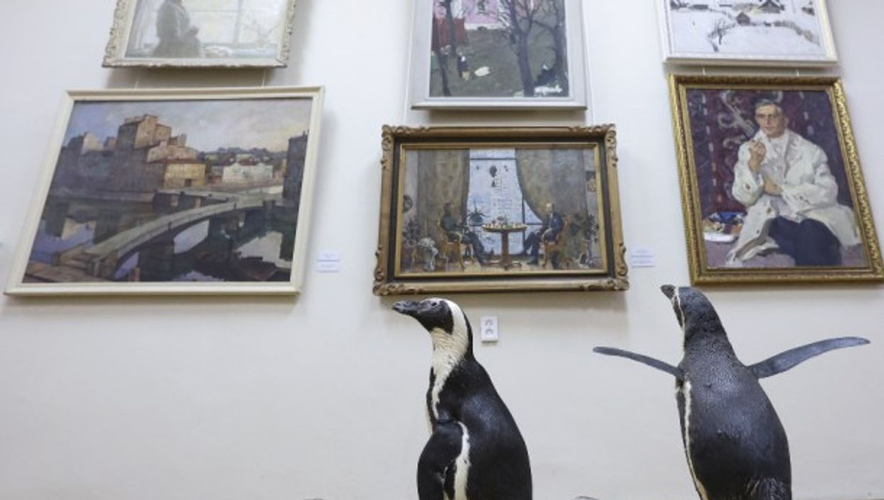 Penguins of the Lasta-Rica circus, which had to cancel all its events during the COVID-19 pandemic, pay a visit to the Bryansk Regional Art Museum, in Russia