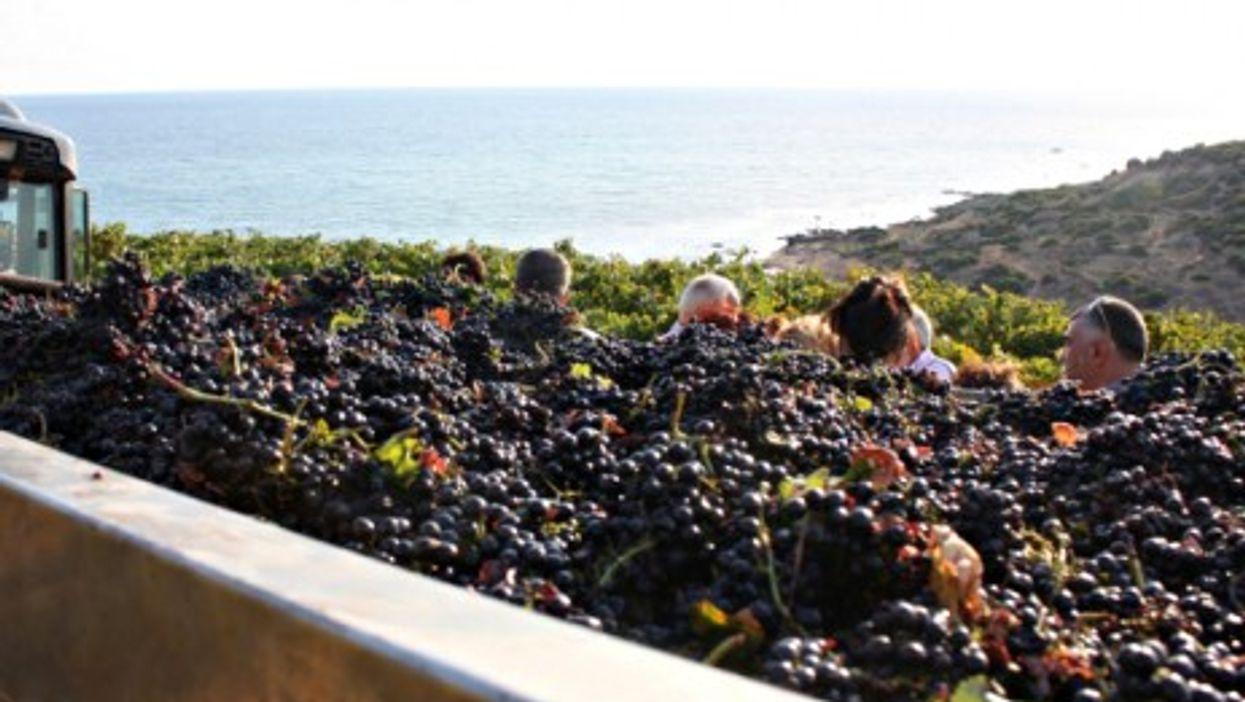 People harvesting grapes in Portopalo, in Sicily, in September 2009.