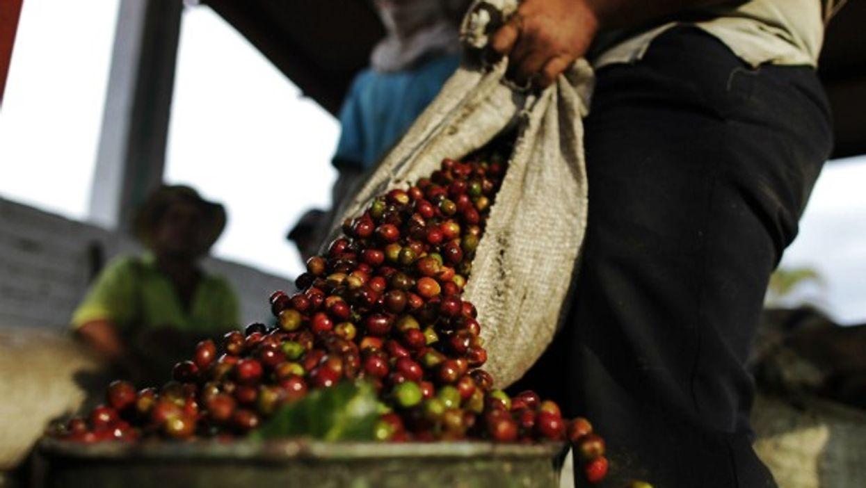 Picking coffee beans in La Tebaida, south of Bogota