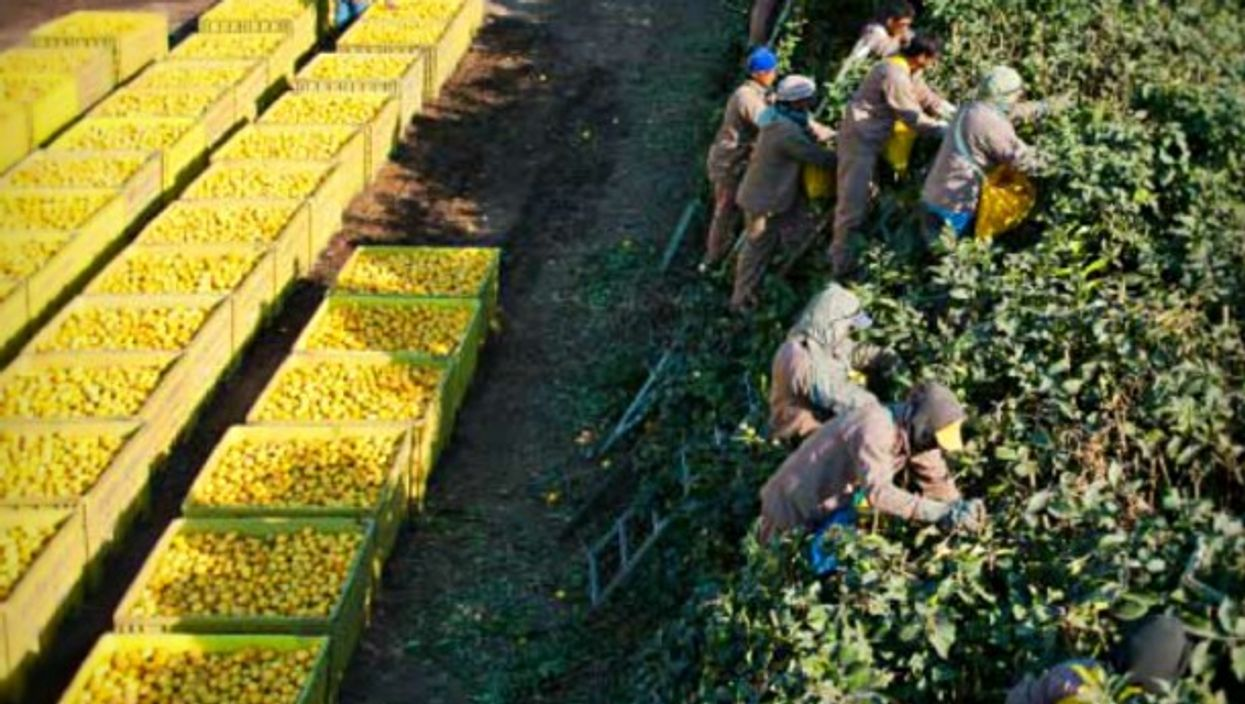 Picking lemons at Argentina's Citrusvil farm