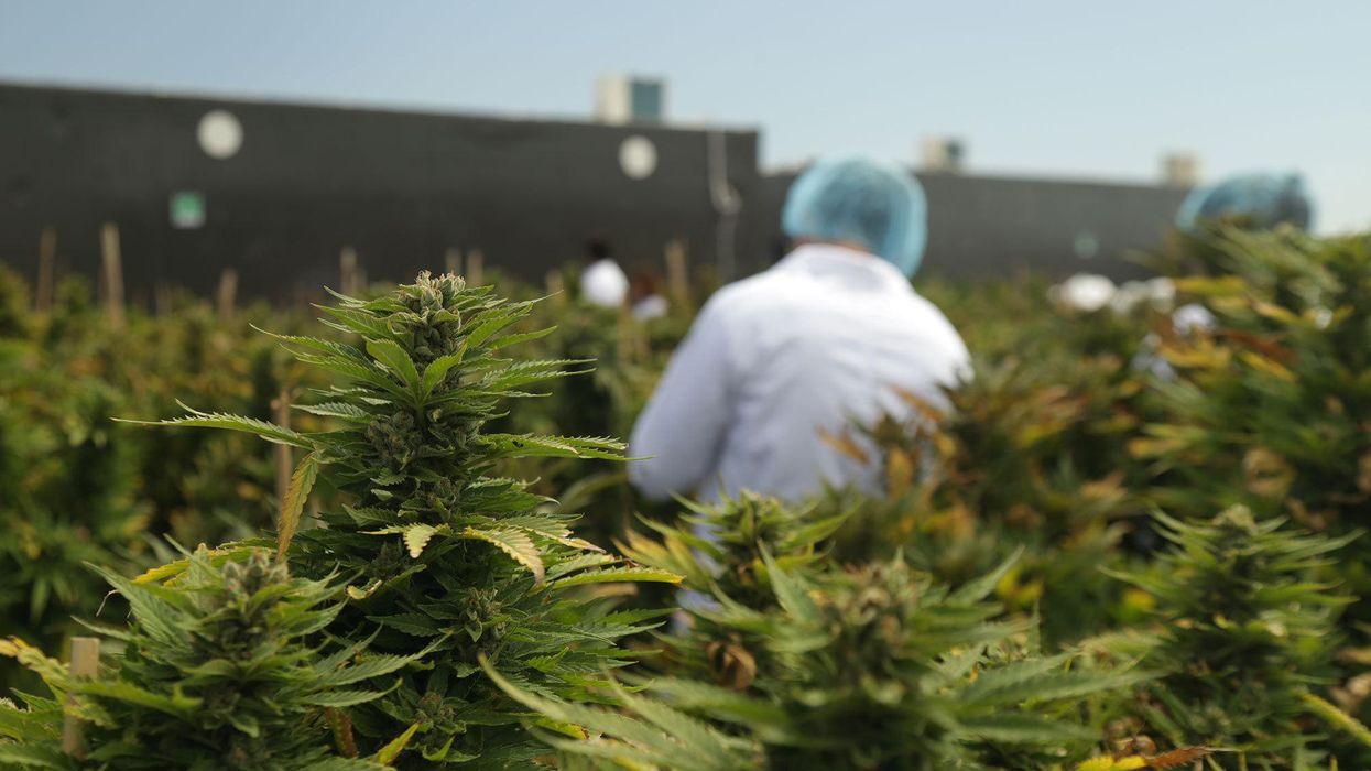 Picture of a cannabis farm in Libertad, Uruguay