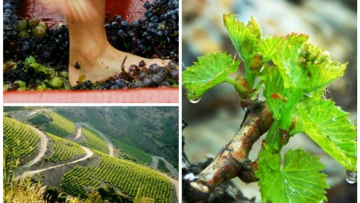Producing Banyuls wine