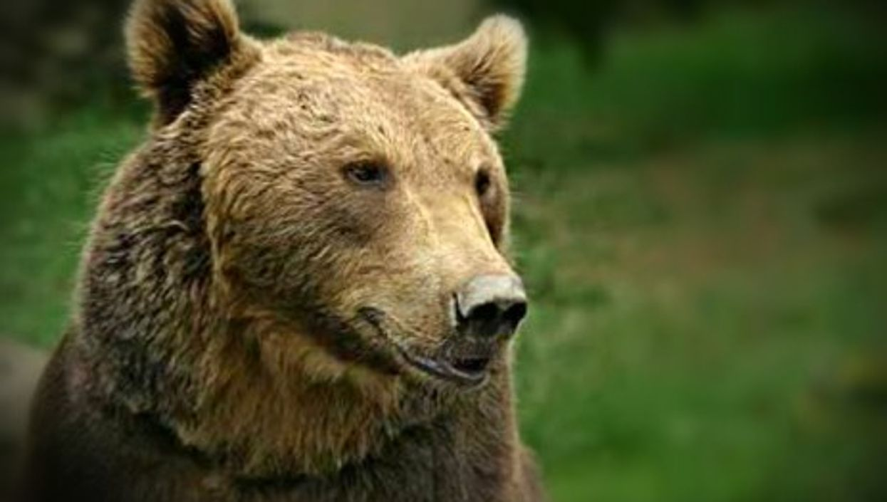 Pyrenean bear