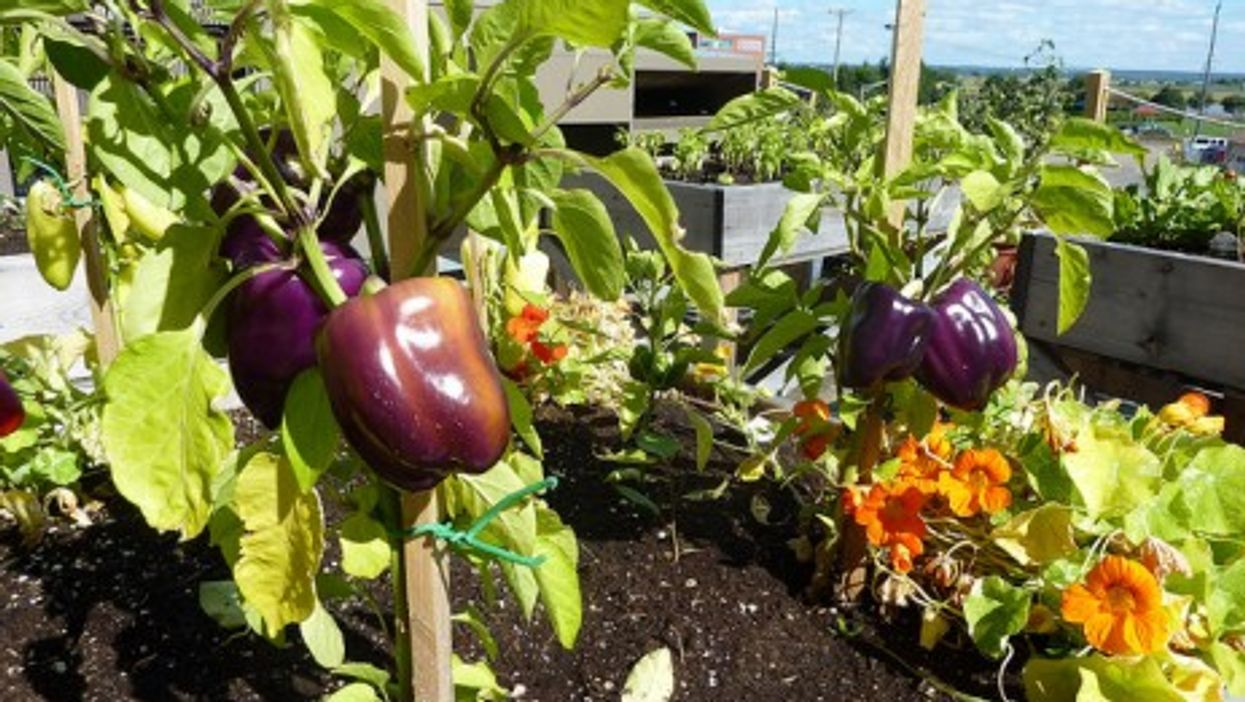 Rooftop city farming is growing more and more popular