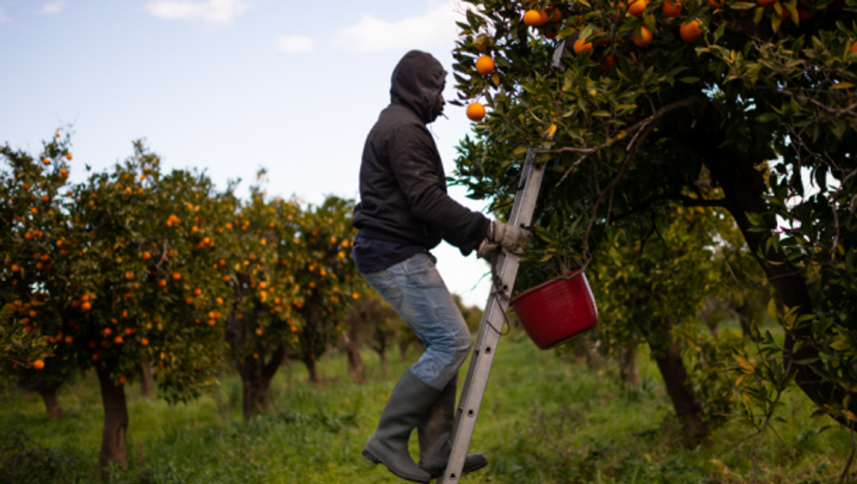 Rosarno, a Senegalese immigrant picking oranges in Calabria in February