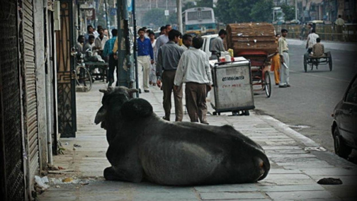 Sacred cow in New Delhi
