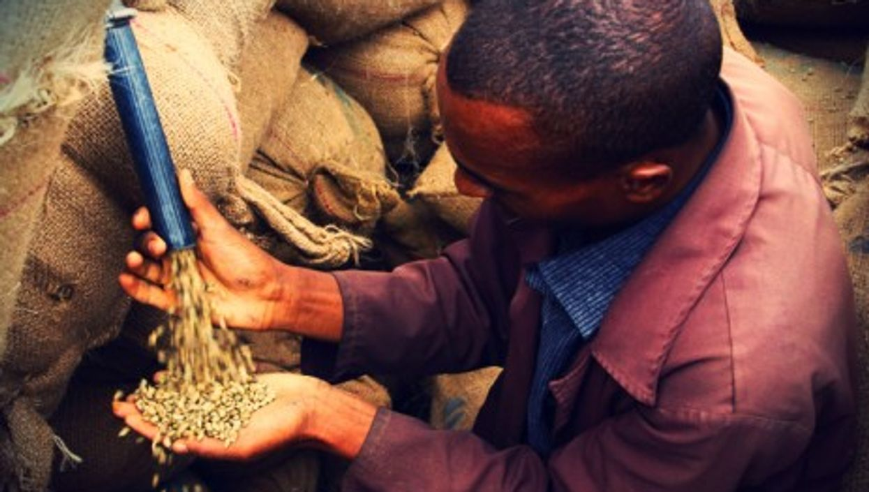 Sampling Ethiopian coffee beans