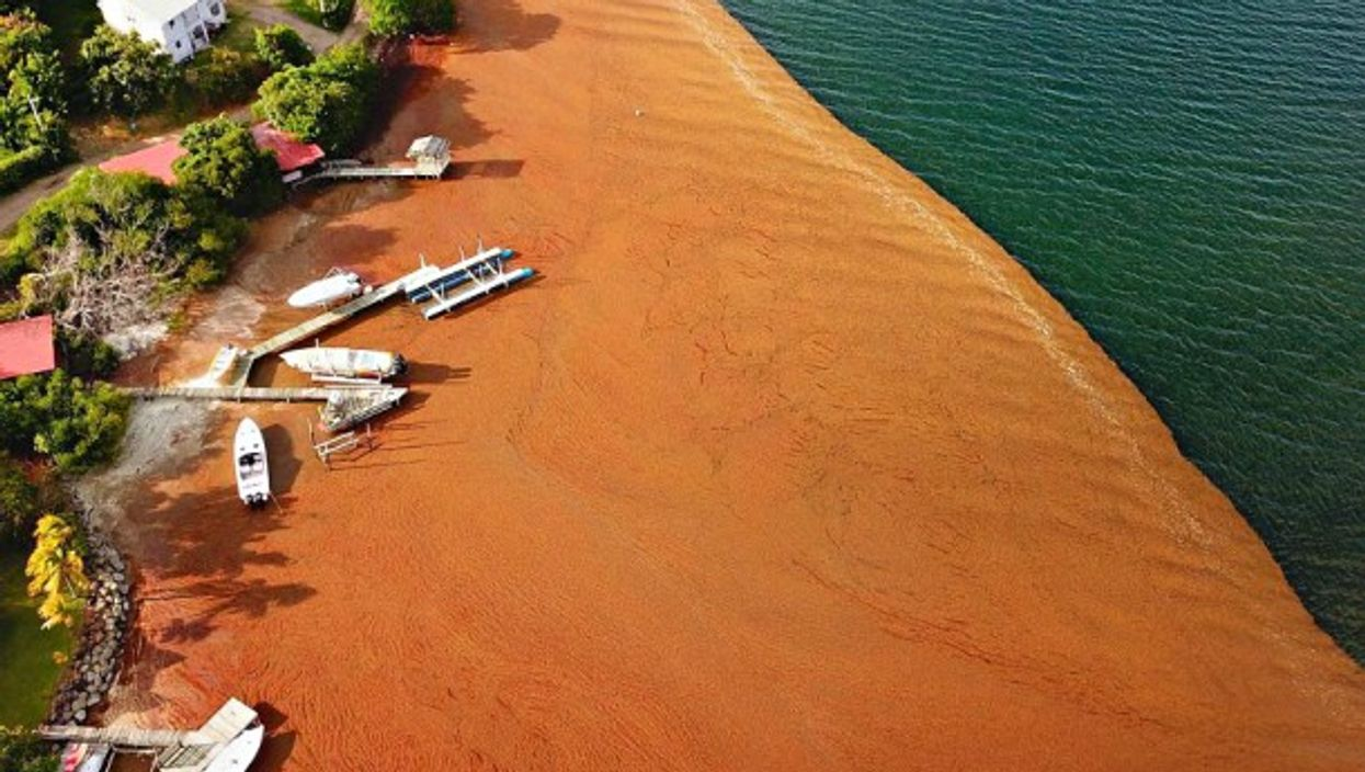 Sargassum on a beach on May, 11 at Le Robert in Martinique, French Antilles