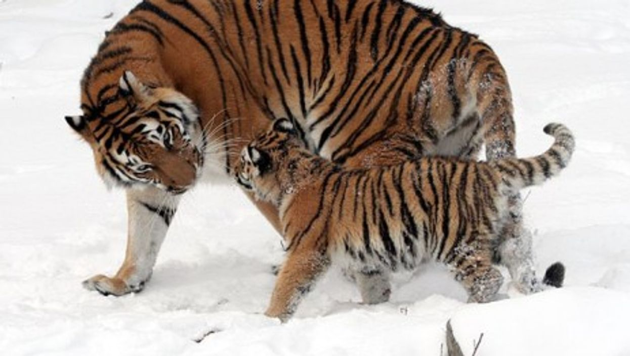 Siberian tigers are better protected at the Buffalo Zoo.