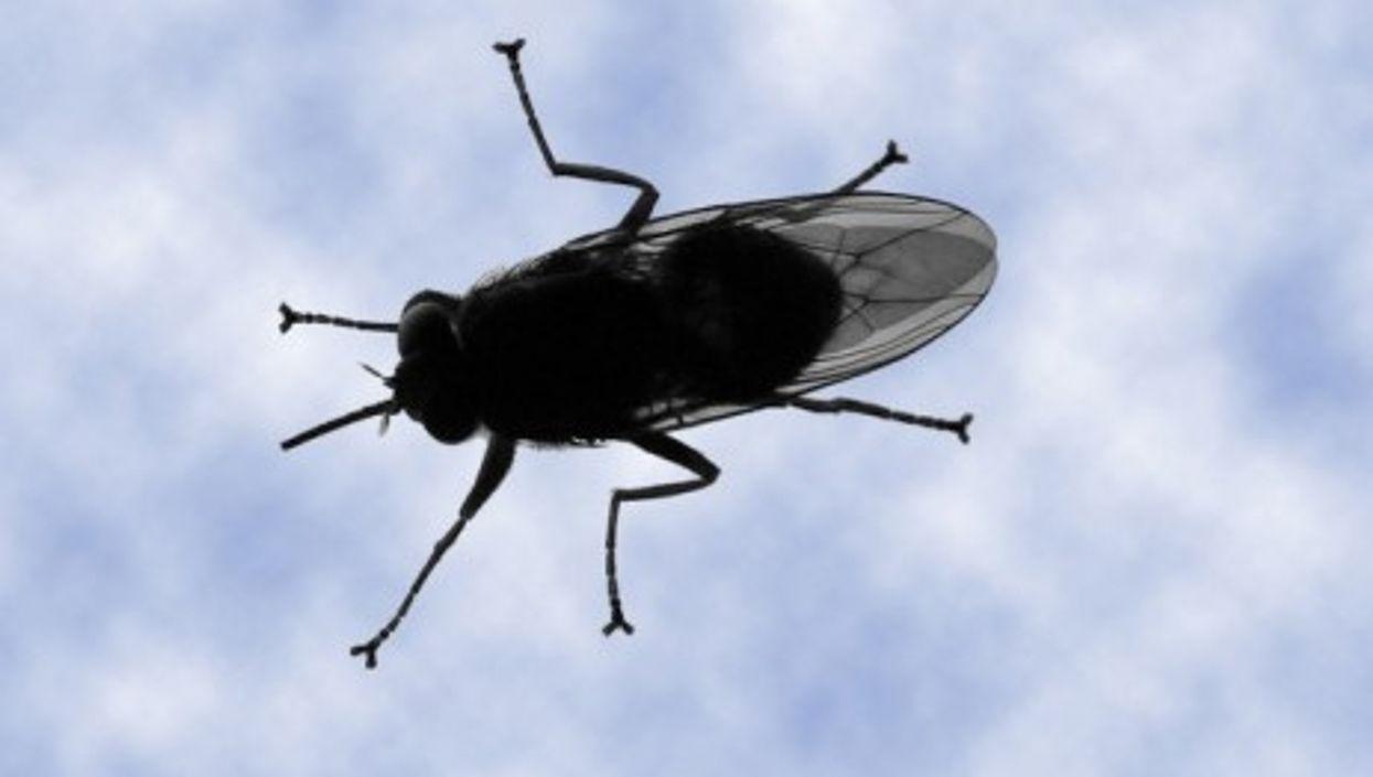 Sleeping sickness is transmitted by tsetse flies