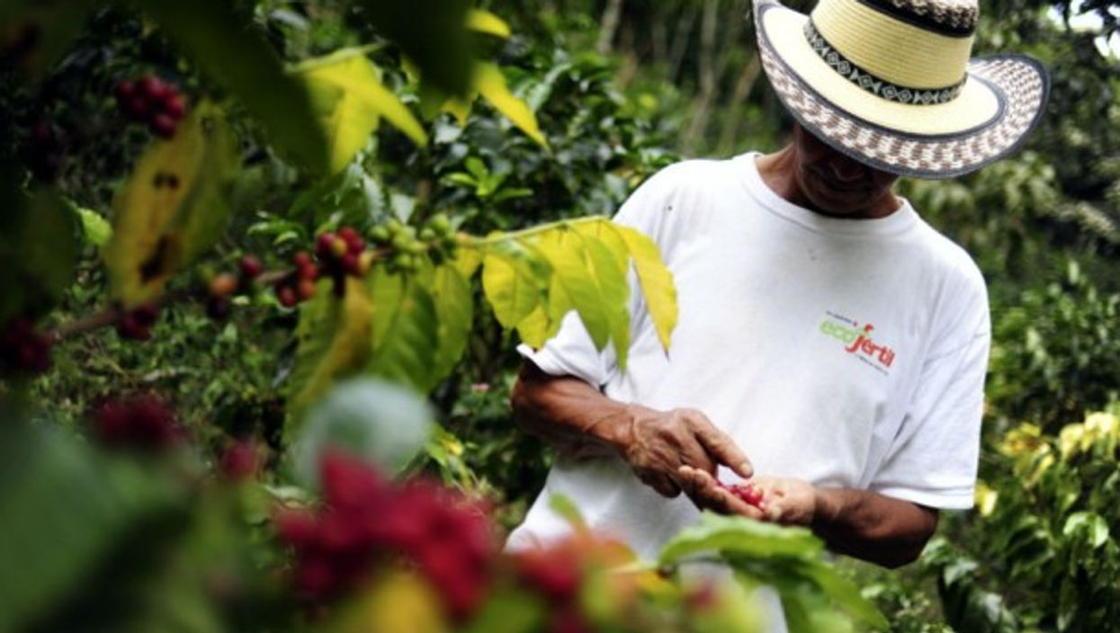 Small Colombian coffee growers cannot live solely off the production ofcoffee anymore