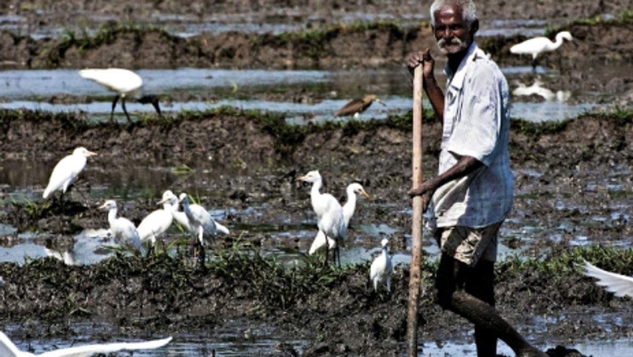 Sri Lankan worker in a rice field
