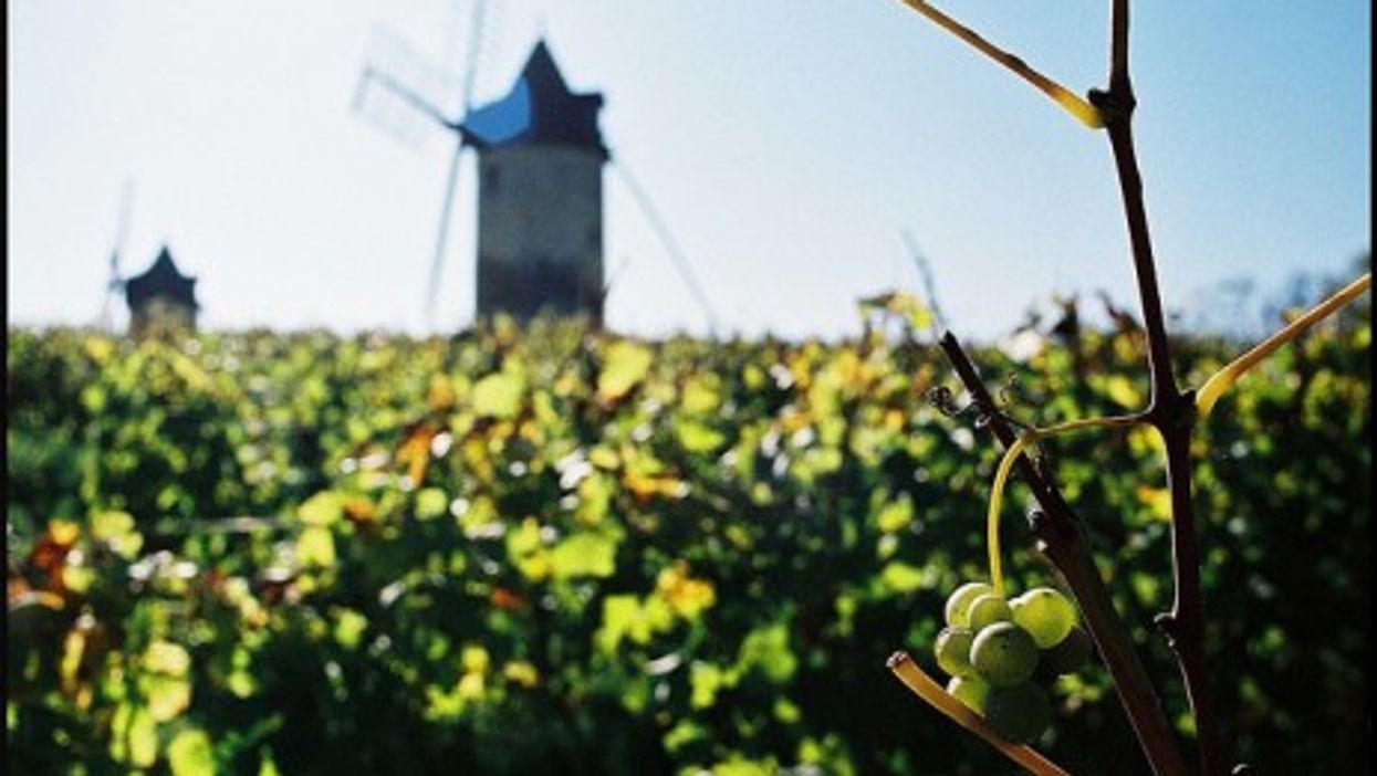St Emilion grapes