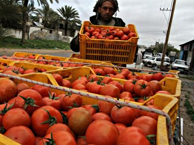 Stacking tomato crates in Rafah in the southern Gaza Strip