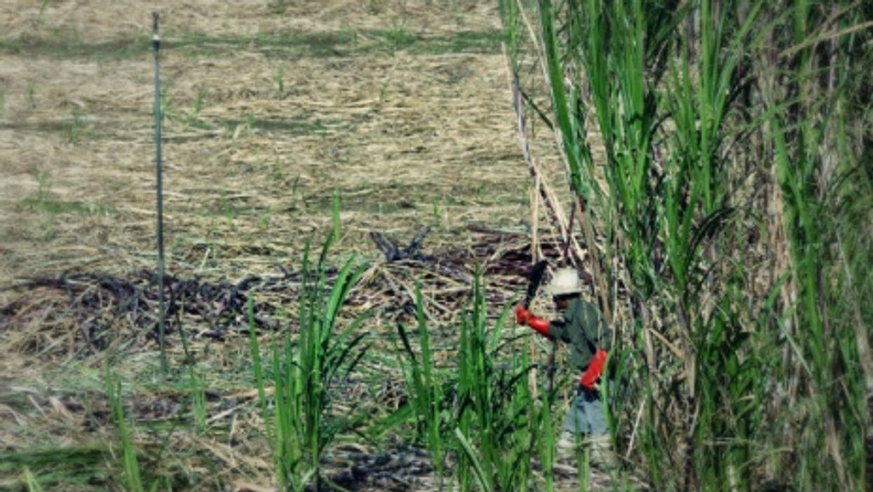 Sugar cane farming is key to the island's economy.