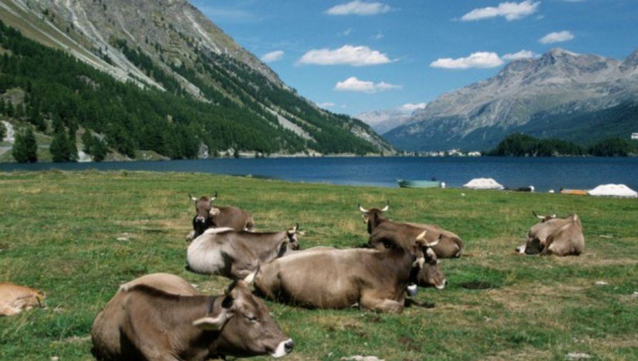 Swiss cows, methane machines