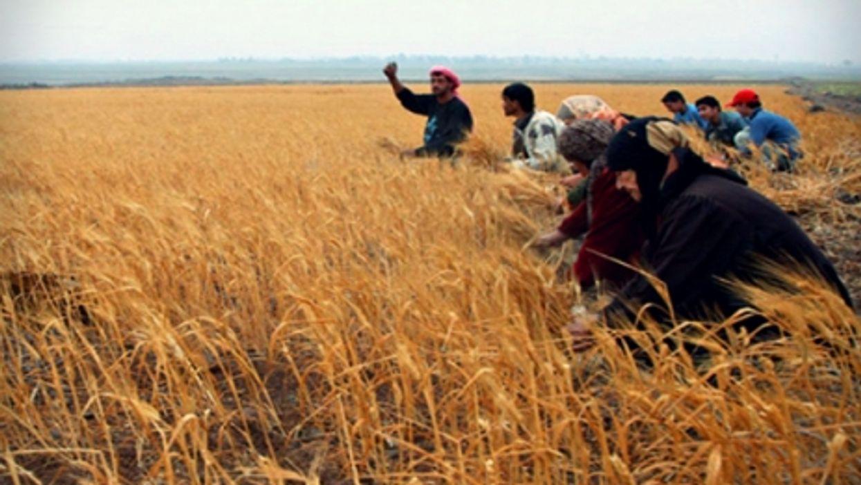 Syrian farmers in a wheat field