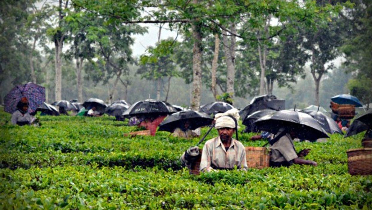 Tea harvest in the rain in Assam