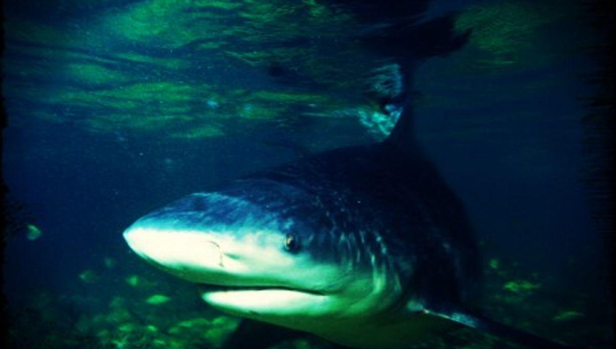 The bull shark is an uber-predator...