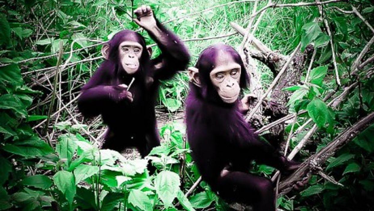The chimpanzees of Congo
