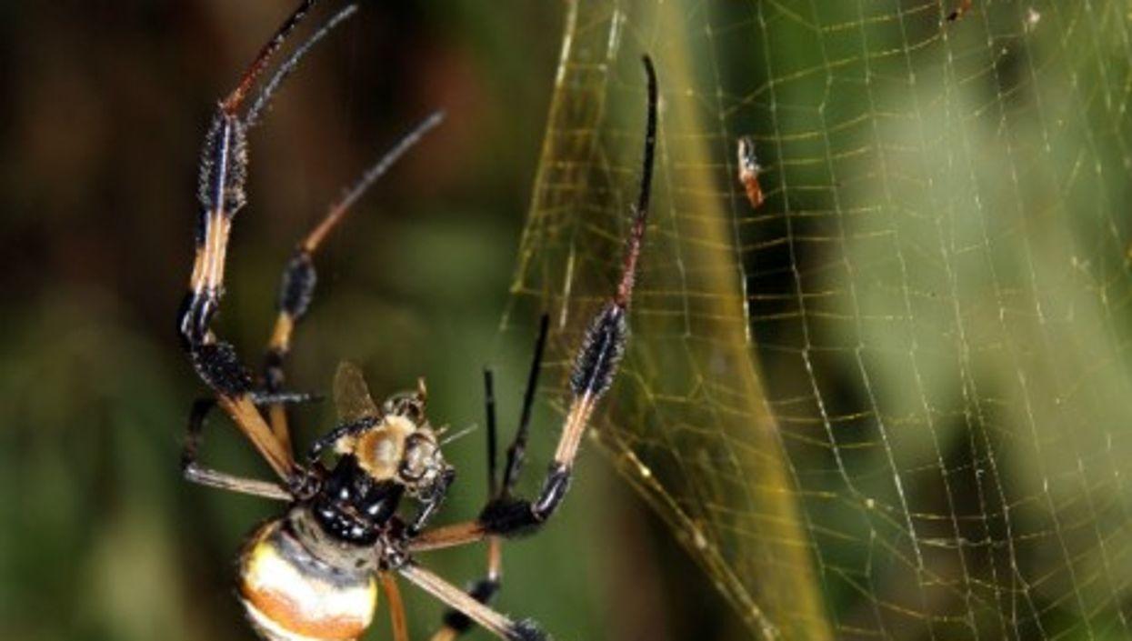 "The Nephila clavipes' ""golden web"""